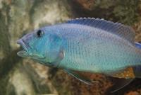 Aristochromis Christyi (wildvang)